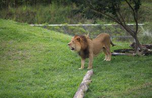 Ukumarí tiene ya tres leones